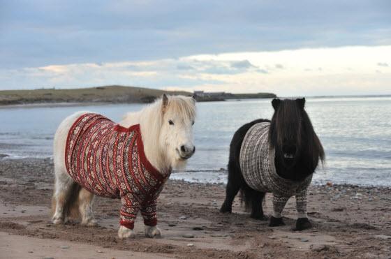 shetland_ponies_sweaters