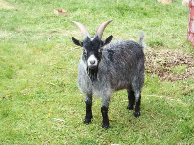 pygmy-goat-buck-for-sale_5810653